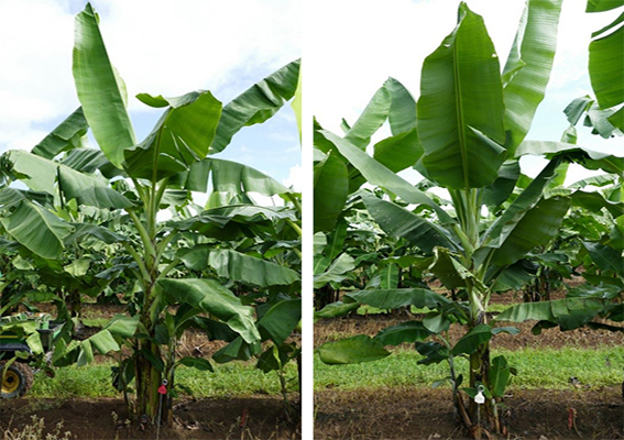 Left is control that didn't undergo mutagenesis. Variant on the right has undergone mutagenesis and shows dwarfism and more upright leaves.