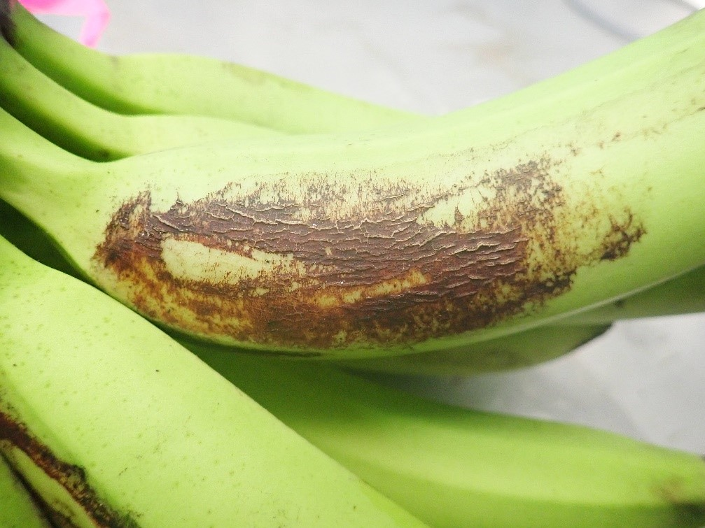 Banana bunch cover trial – Better Bananas