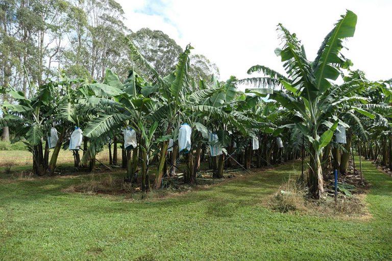 Panama R1 Variety Screening Trial Better Bananas