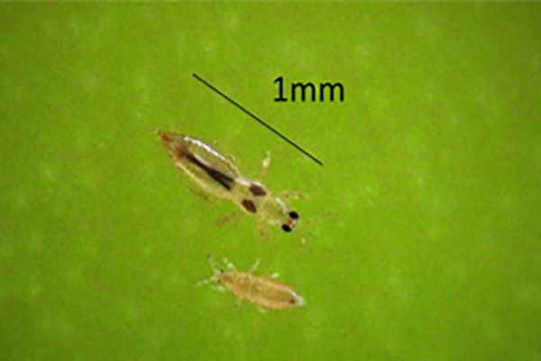 Banana rust thrips - a persistent and pesky pest!