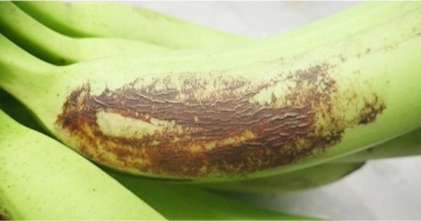 Figure 6 - Severe banana rust thrips damage showing skin cracking
